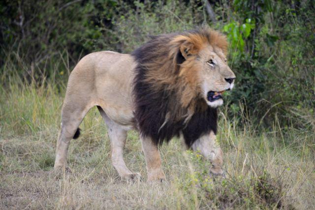 O grande leão.