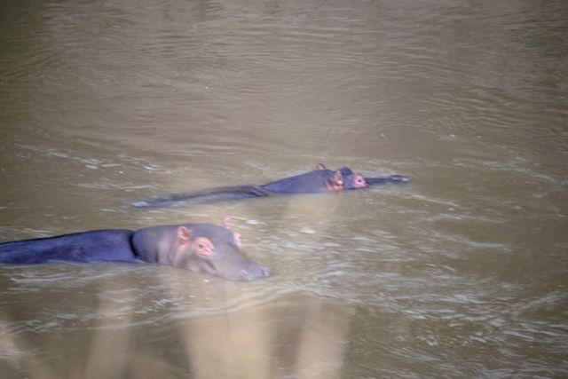 Os hipopótamos do Rio Mara.