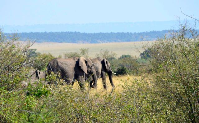 Os elefantes estavam observando a cena.