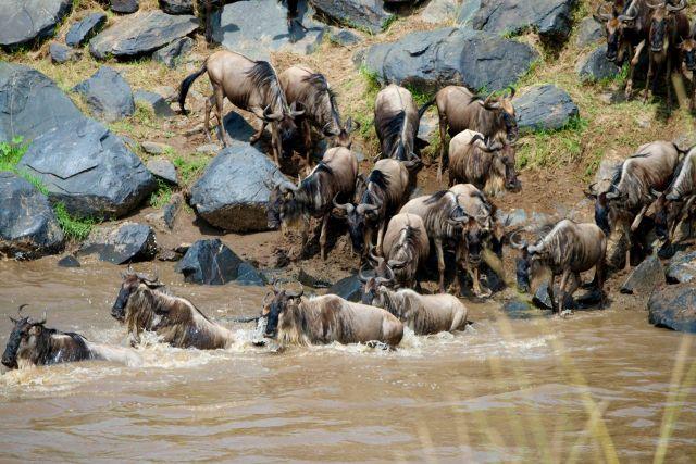 Os animais se arriscam no leito do rio infestado de crocodilos-do-nilo.