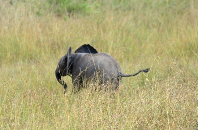 O bebê elefante correndo pela savana.