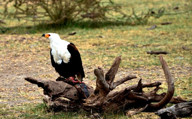 A bela águia-pescadora-africana.