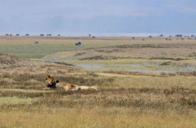 Os leões no caminho dos Masais