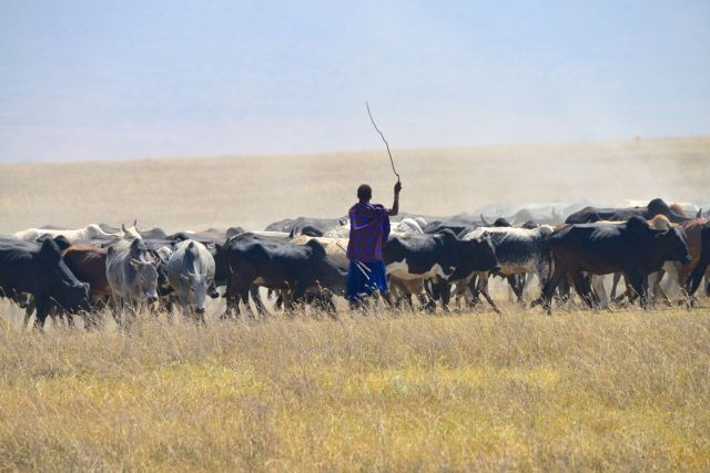 Os Masai conduzindo os seus animais.