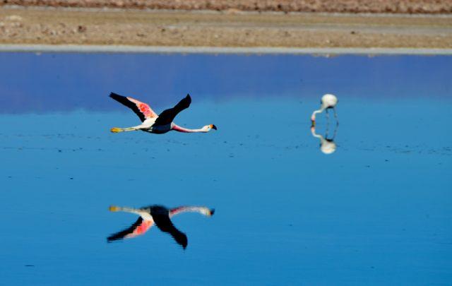 O voo do Flamingo Andino.