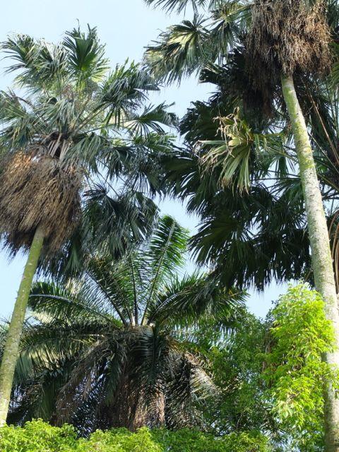 Background Kelapa Sawit : background, kelapa, sawit, Elaeis, Guineensis, Trees