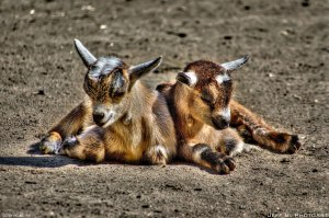 A photo of two baby Billy Goats by Jeff S. on Flickr