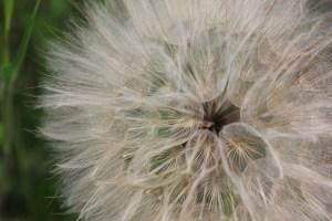 A macro photo of dandelion seeds by Mariya Georgieva on Unsplash