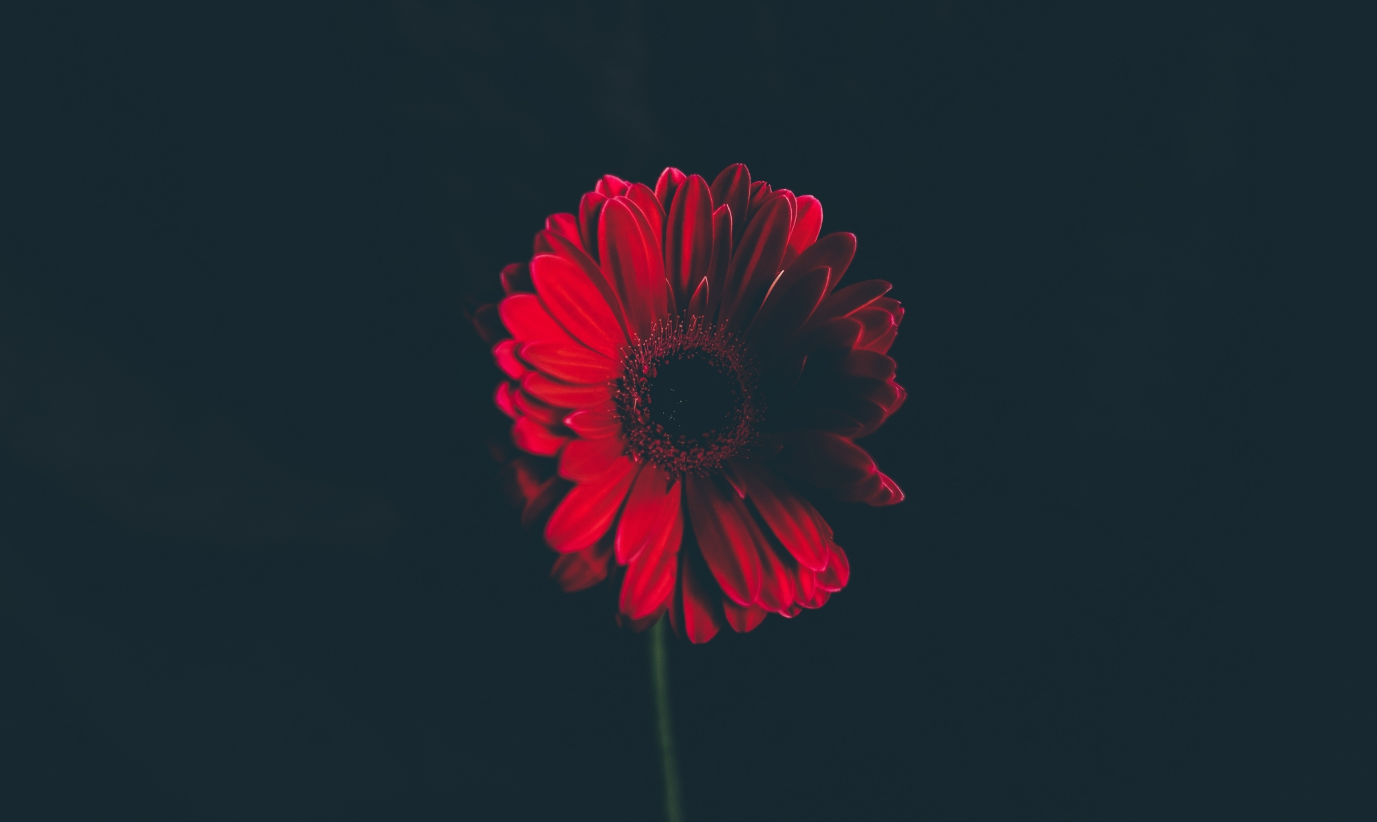 A photo of a red daisy on a black background by Annie Spratt on Unsplash