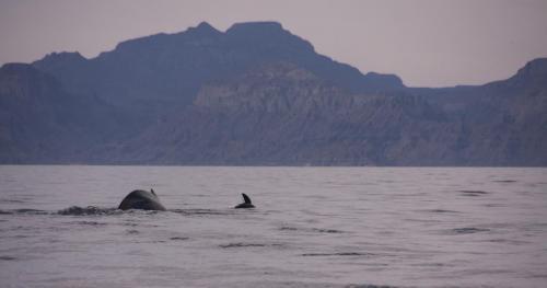 Baleine à bosse & loup de mer - Basse californie