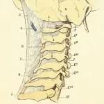 cervicales2