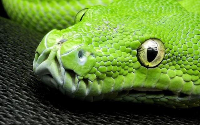 Зеленый питон (лат. Morelia viridis) 7
