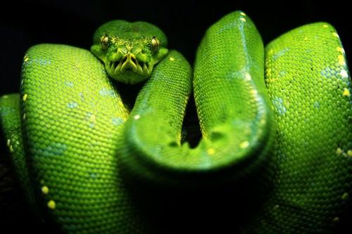 Зеленый питон (лат. Morelia viridis) 5