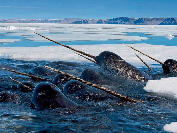 Нарвалы — таинственные «единороги» северных морей 2