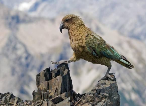 Новозеландские попугаи-овцеубийцы вычисляют вероятности 1