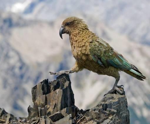 Новозеландские попугаи-овцеубийцы вычисляют вероятности 5