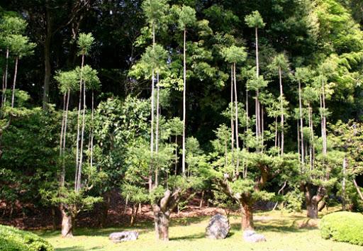 Экологам на вооружение. Японские кедры китаяма в технике 14 века 4