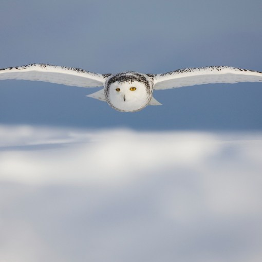 Полет совы сквозь порывистый ветер может вдохновить на создание новых самолётов 4