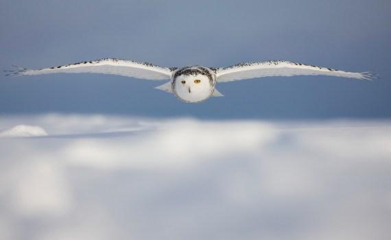 Полет совы сквозь порывистый ветер может вдохновить на создание новых самолётов 11