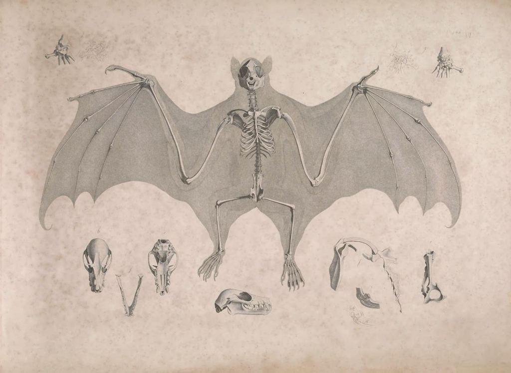 Иллюстрации скелетов животных Эдуарда Жозефа д'Альтона (1821–1838) 13