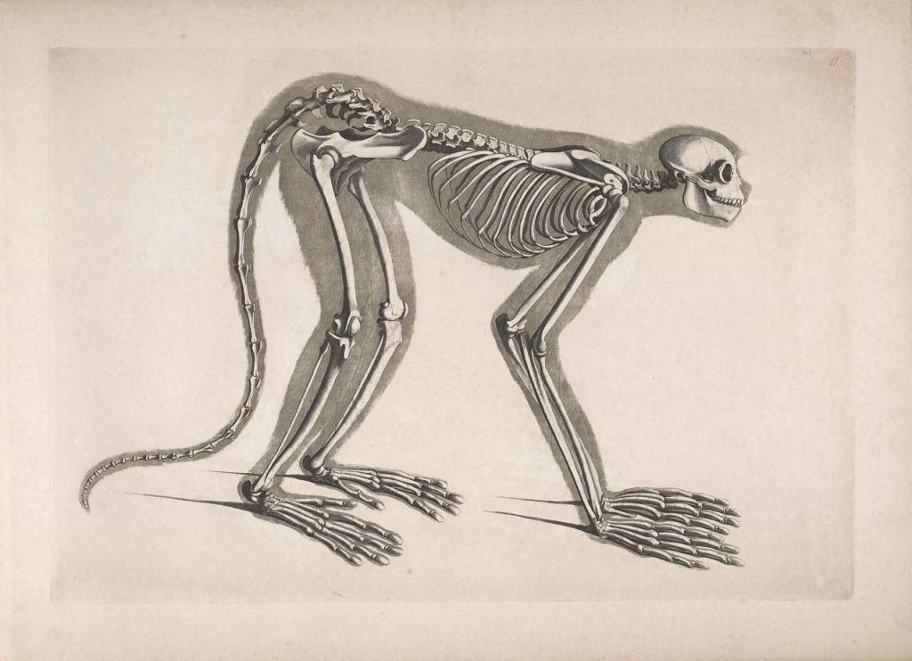 Иллюстрации скелетов животных Эдуарда Жозефа д'Альтона (1821–1838) 5