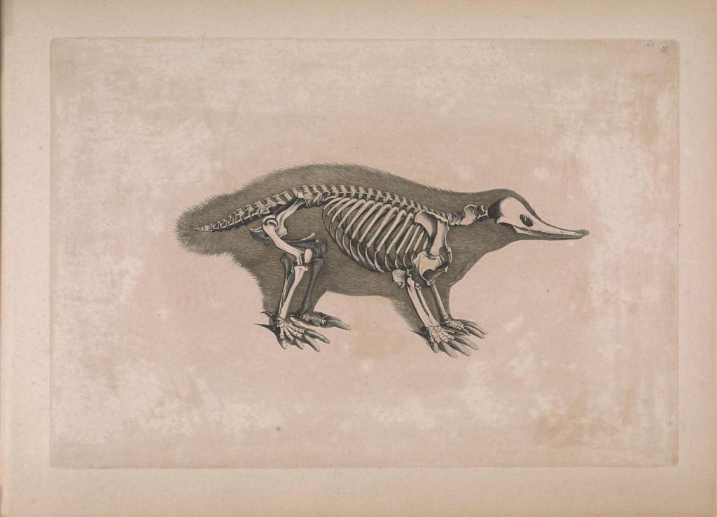 Иллюстрации скелетов животных Эдуарда Жозефа д'Альтона (1821–1838) 10