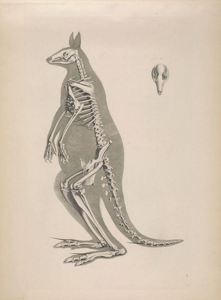 Иллюстрации скелетов животных Эдуарда Жозефа д'Альтона (1821–1838) 11
