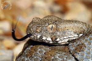 Змеи, ядовитые и целительные 6