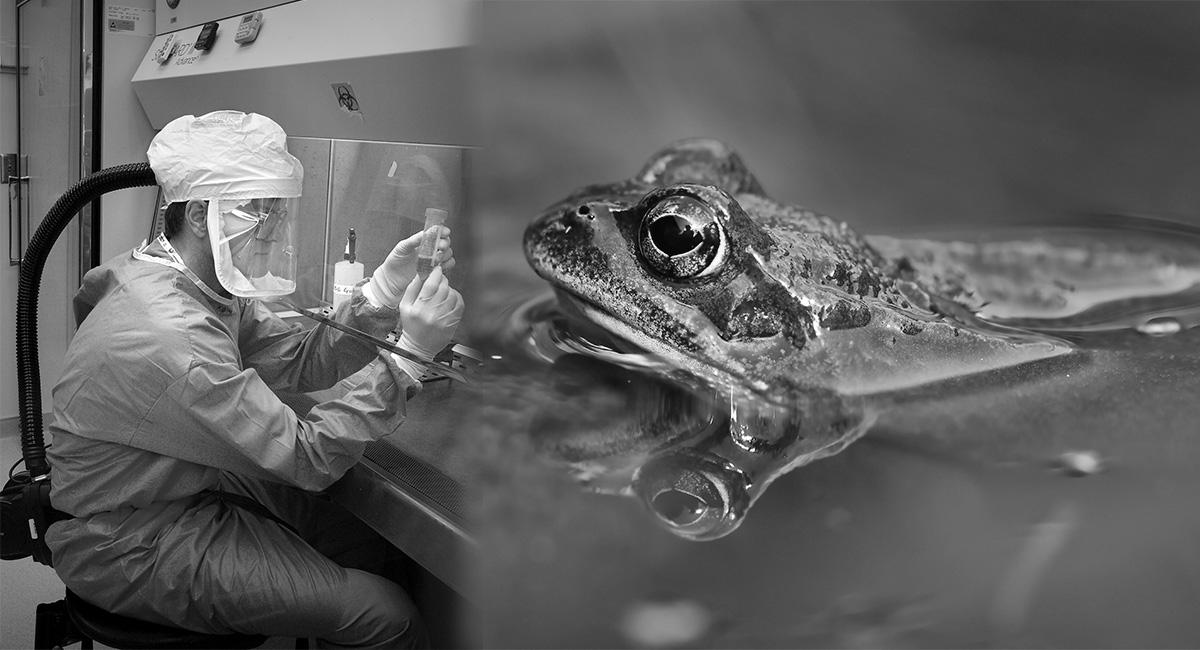 Почему лягушка стала объектом опытов в науке 1
