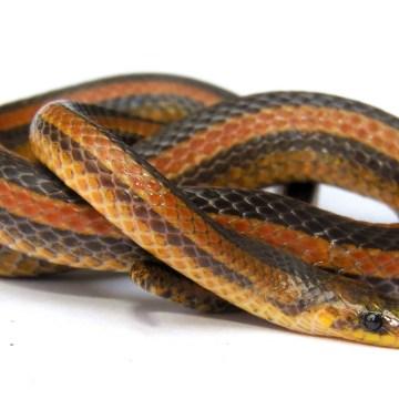 Atractus Marthae, la nueva especie de serpiente pequeña en Santander