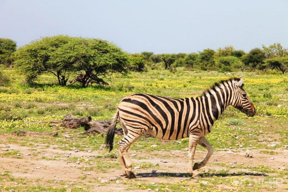 Cebra Etosha National Park