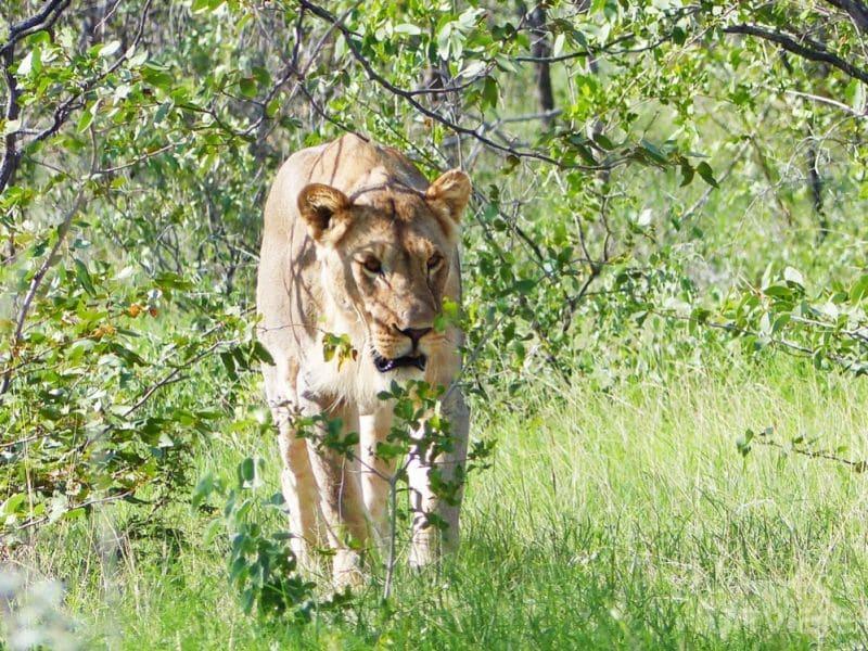León Etosha National Park