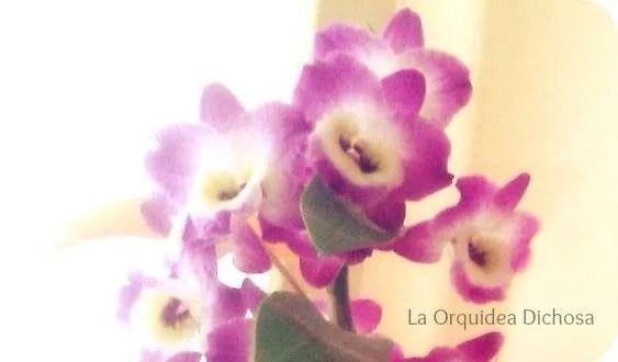 La Orquídea Dichosa