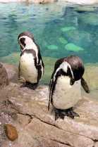 ペンギン お辞儀_R