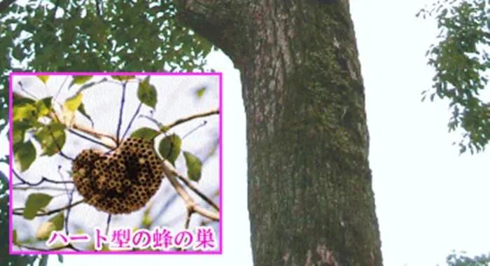 全国で一社しかない「恋木神社」のハート型の蜂の巣