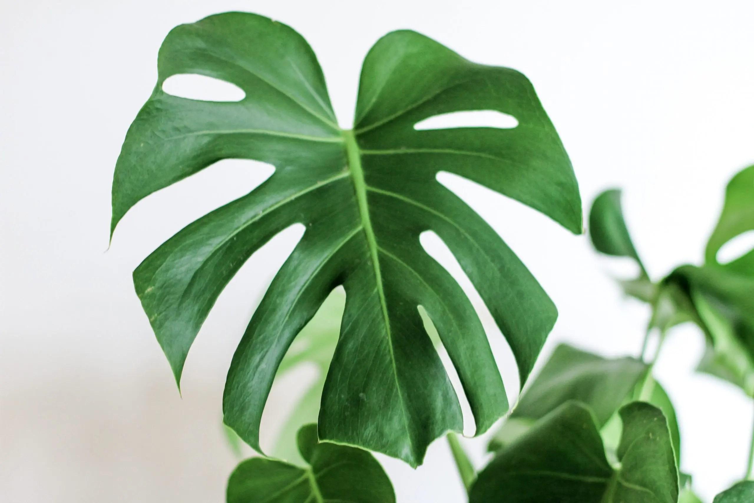 plante pour tous pas cher monstera