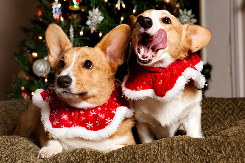 Cute Christmas Baby Wallpaper 10 Times Corgi S Proved They Have Way More Holiday Spirit