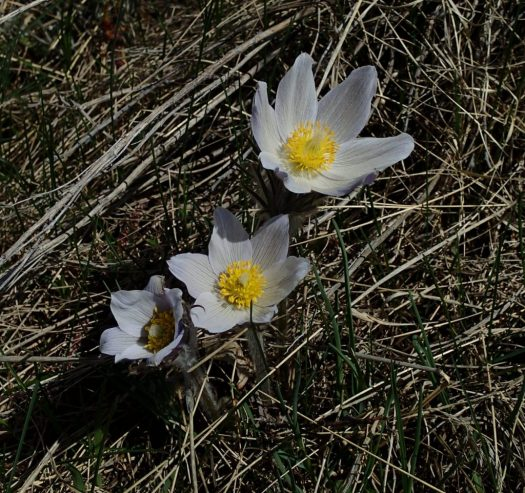 An image of a Pasqueflower
