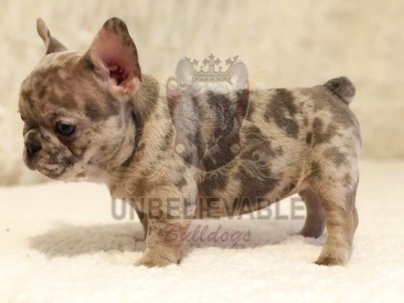 Impeccable Florida French Bulldog English Bulldog Puppies