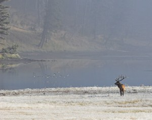 A subtle suggestion to follow the gaze of the Elk to the flock of birds