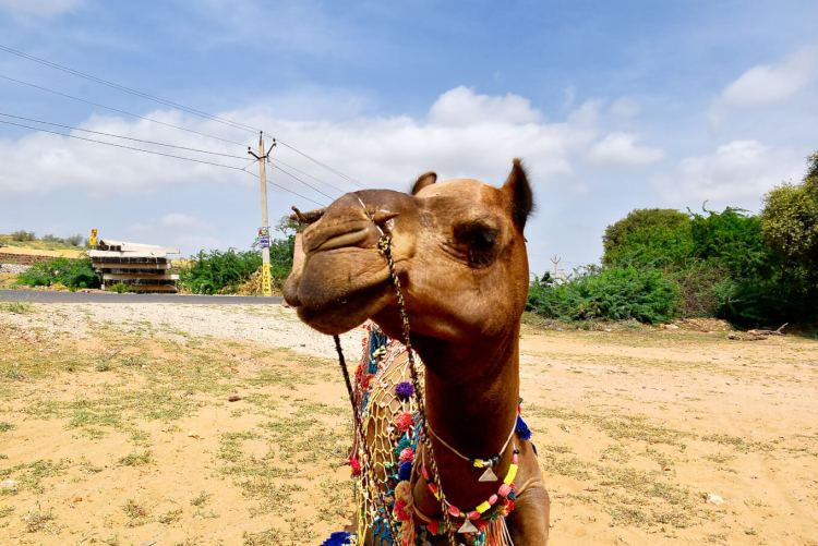 Osian Desert Safari Camel Jodhpur things to do
