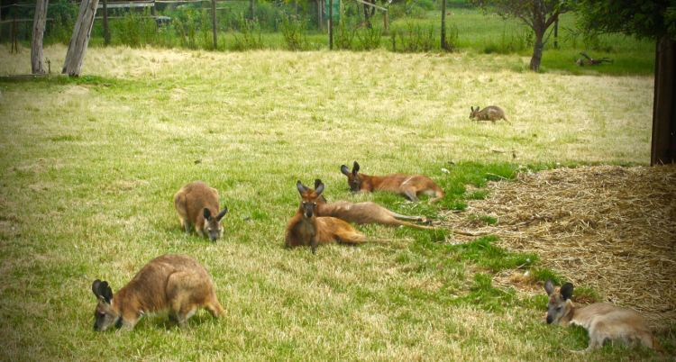 Red Kangaroos Lazing Phillip Island Wildlife Park