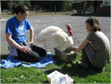 Caregivers at Woodstock Farm Animal Sanctuary tend to a turkey. Photo by Lisa Kemmerer.