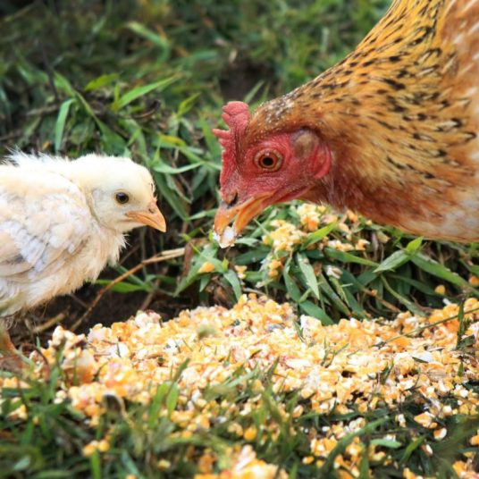 Chickens at the sanctuary