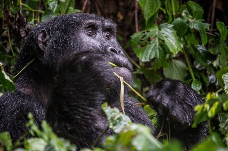 A gorilla in Bwindi Impenetrable forest.