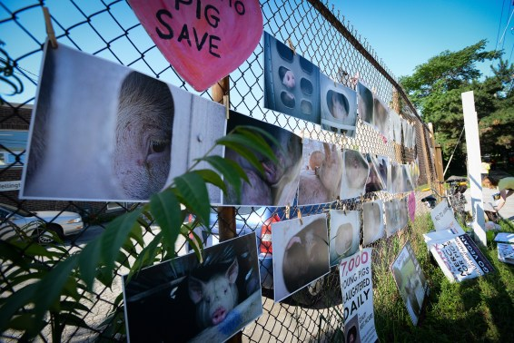 Pig Save photographs and posters are hung on a chain link fence visible from the street. Canada 2013.