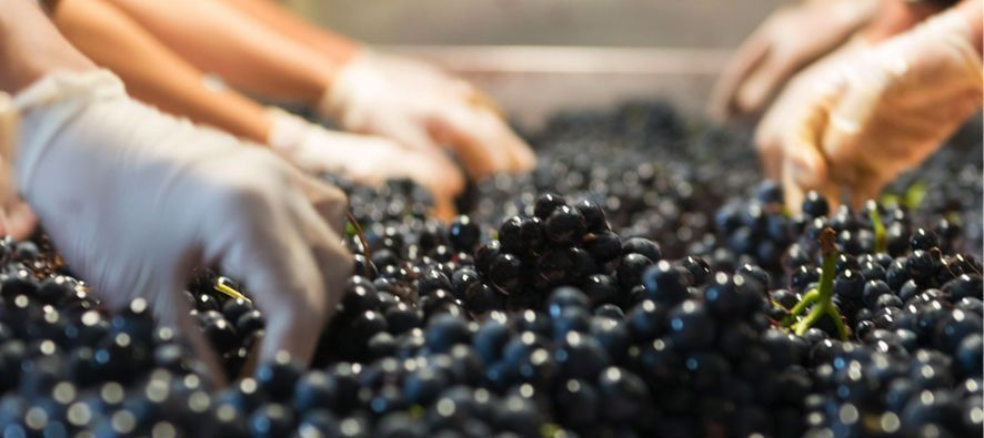 La materia prima de los vinos de Dominio de Basconcillos es la Tempranillo o Tinta del País