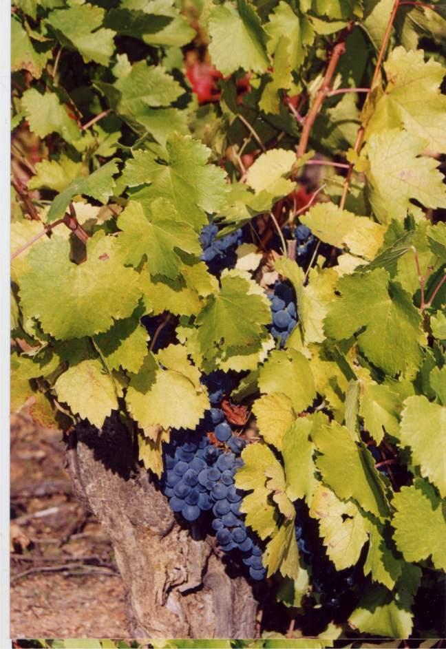 vinos gallegos variedad mencia