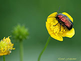 Decoration_For_The_Buttercup