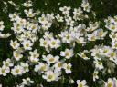 Анемона лісова (Anemone sylvestris L.) Фото Іноземцевої Д.
